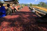 《焙煎豆100g》エチオピア・グジ・ゲイシャジャスミンG1